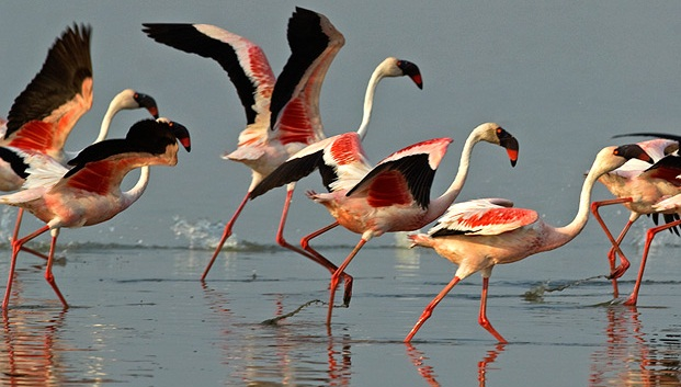 Flamingos in Rann of Kutch, bird sanctuaries in Gujarat, IndianEagle Travel